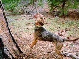 American Leopard Hound Tree
