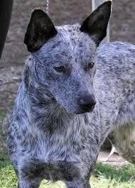 Australian Stumpy Tail Cattle Dog Face