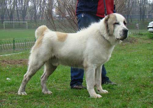Central Asian Shepherd Posing