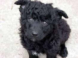 Croatian Sheepdog Puppy