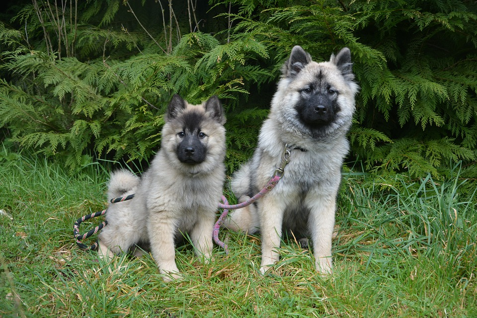 Blue Eurasier and Puppy