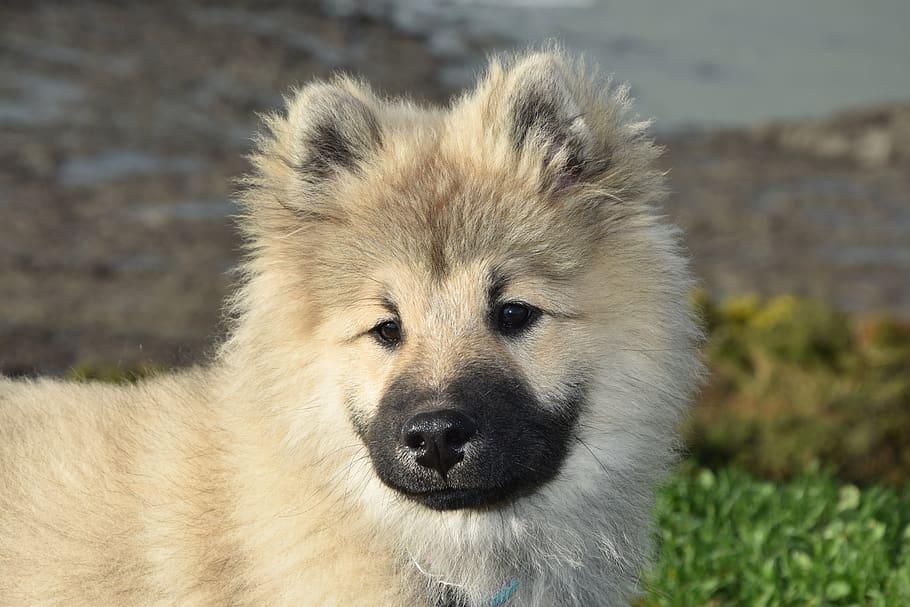 Eurasier puppy Looking