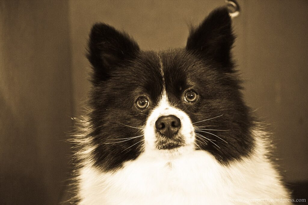 German Spitz Black and White