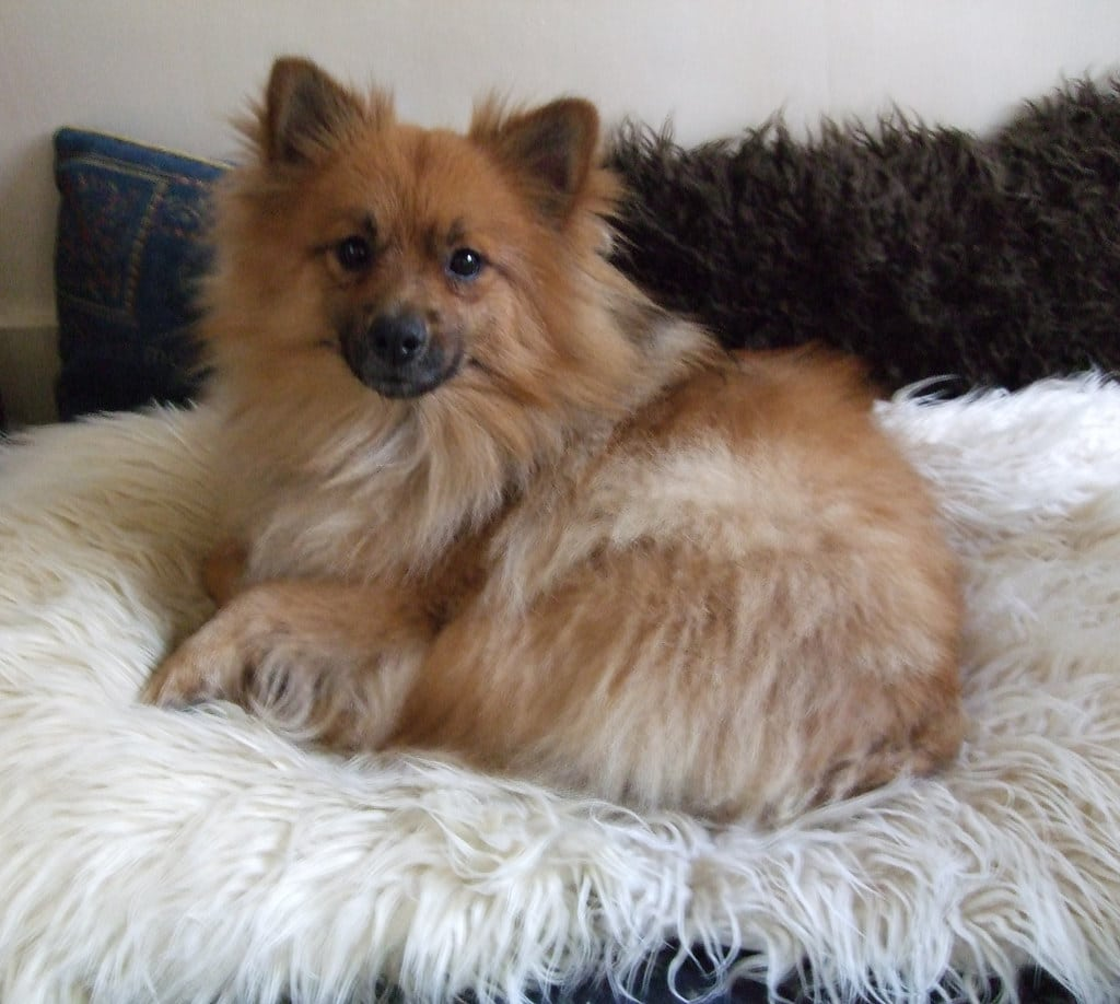 German Spitz Laying Down