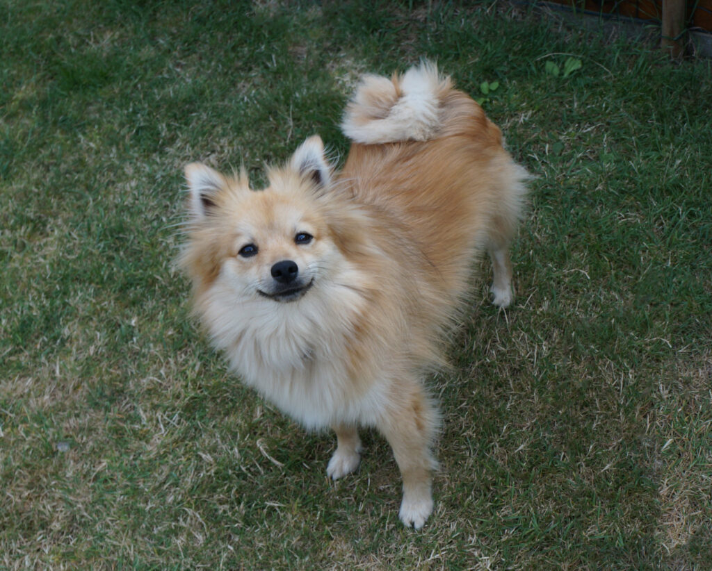 German Spitz Looking