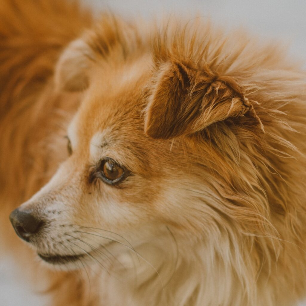 German Spitz Tan Face