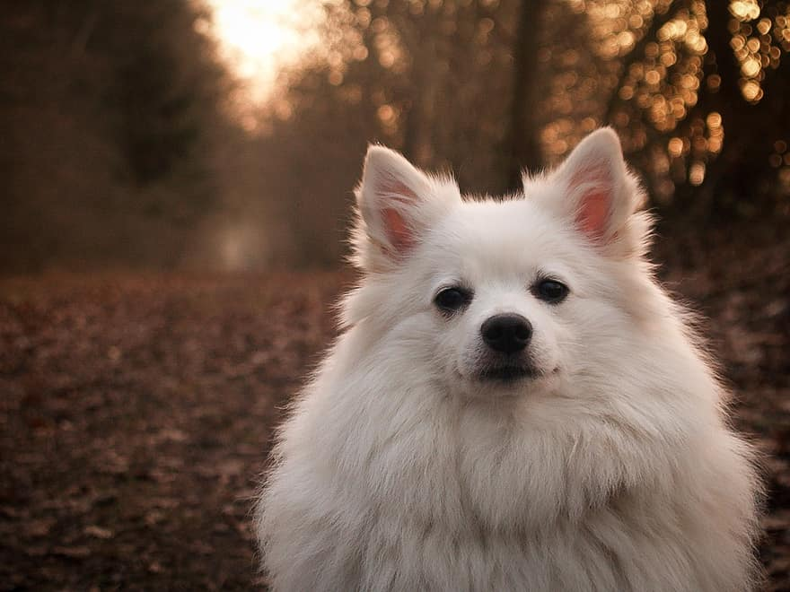 German Spitz White Front