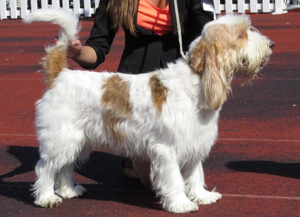 Grand Basset Griffon Vendéen Showing