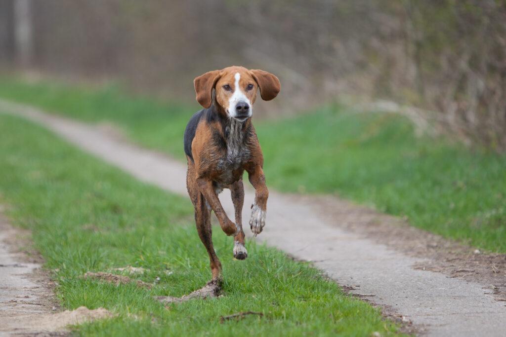 Hamilton Stövare Running