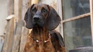 Hanoverian Scenthound Alert