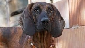 Hanoverian Scenthound Looking