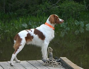 Irish Red and White Setter on Dock
