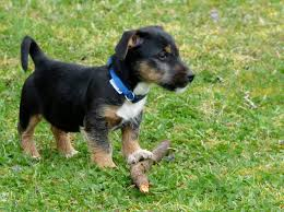 Jagdterrier Puppy