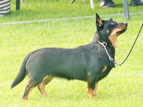 Lancashire Heeler on Grass