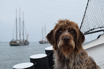 Pudelpointer On Dock