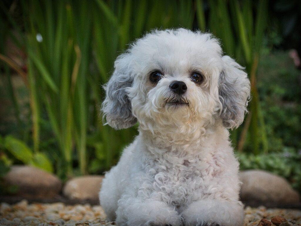Russian Tsvetnaya Bolonkas Puppy