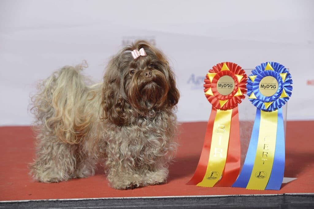 Russian Tsvetnaya Bolonkas Winner