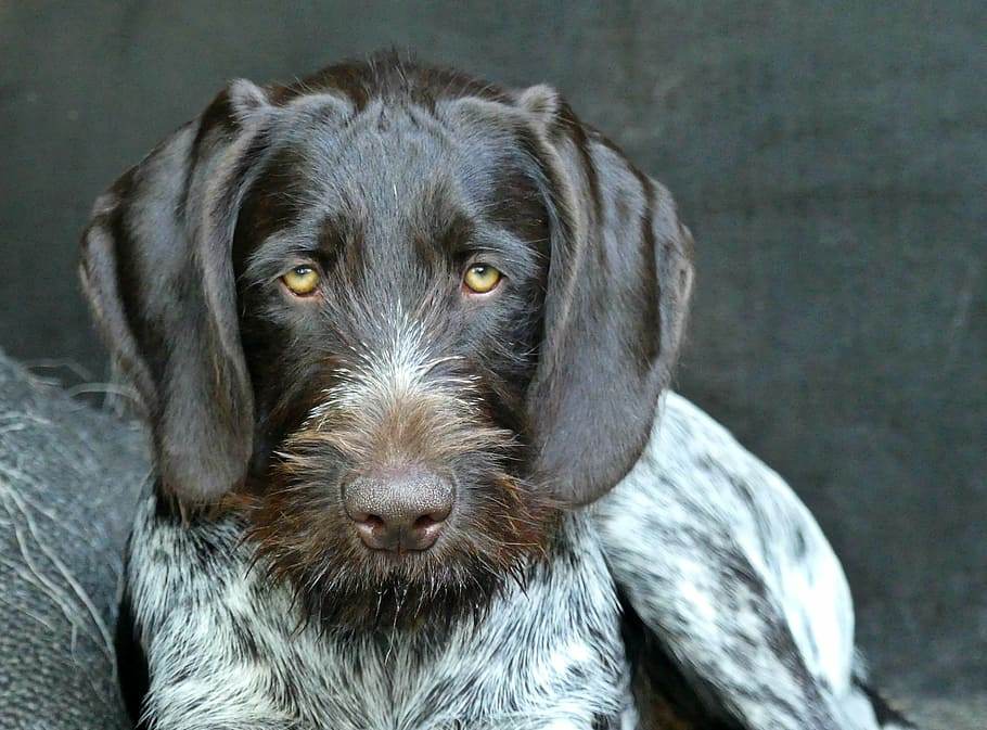 Slovakian Wirehaired Pointer Face