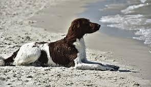 Small Munsterlander Pointer on the Beach