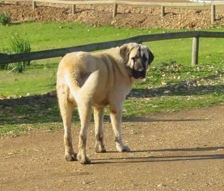 Spanish Mastiff looking back