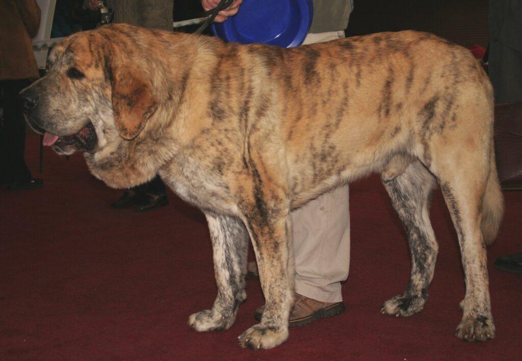 Spanish Mastiff on a Leash