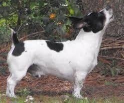 Teddy Roosevelt Terrier Aroo