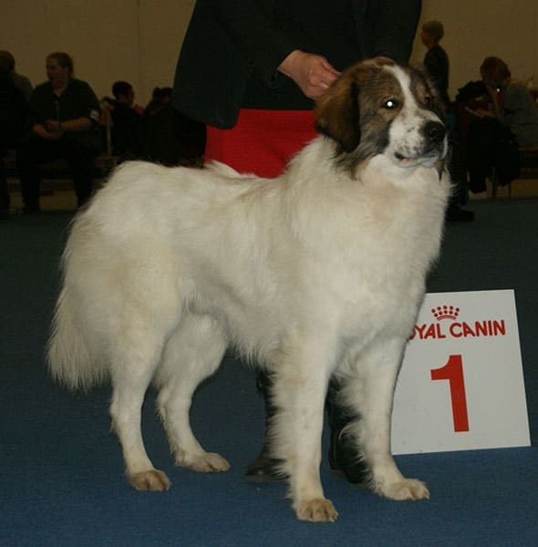 Tornjak Showing