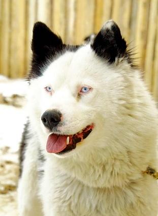 Yakutian Laika Face