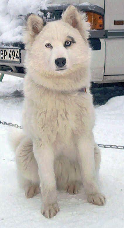 Yakutian Laika In the Snow
