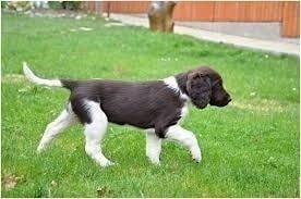 drentse patrijshond puppy