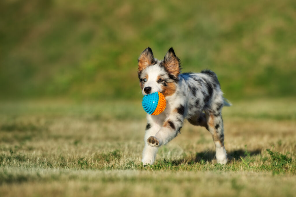 Toy Australian shepherd with Ball