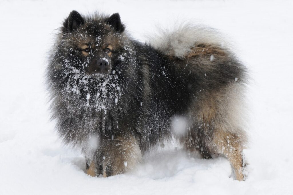 Swedish Lapphund Snow
