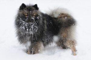 Swedish Lapphund Snow