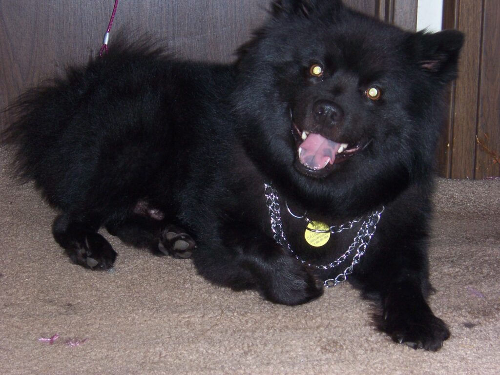 Swedish Lapphund With Chains
