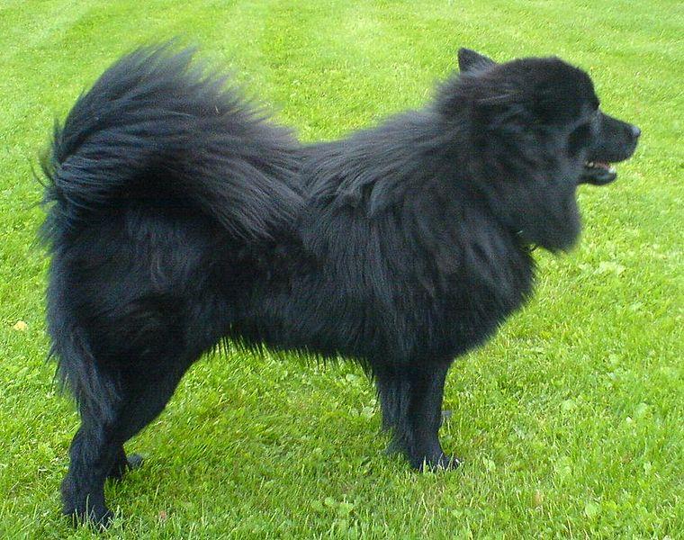 Swedish Lapphund on Grass