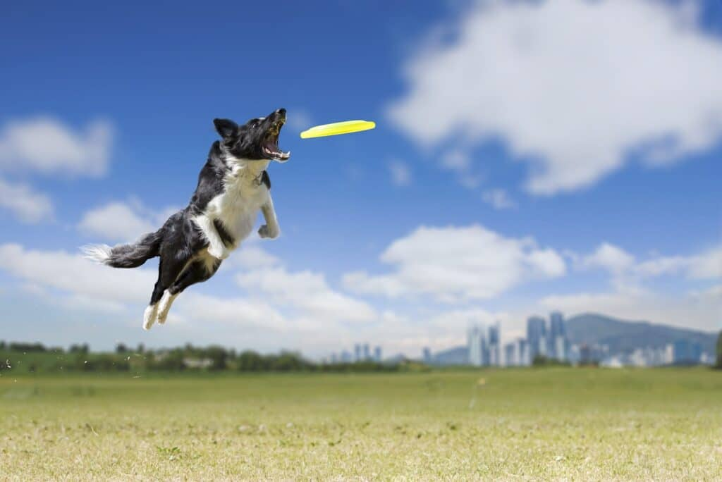 Boarder Collie Playing Frisbee