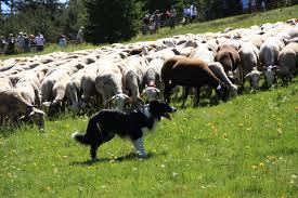 Boarder Collie Herding