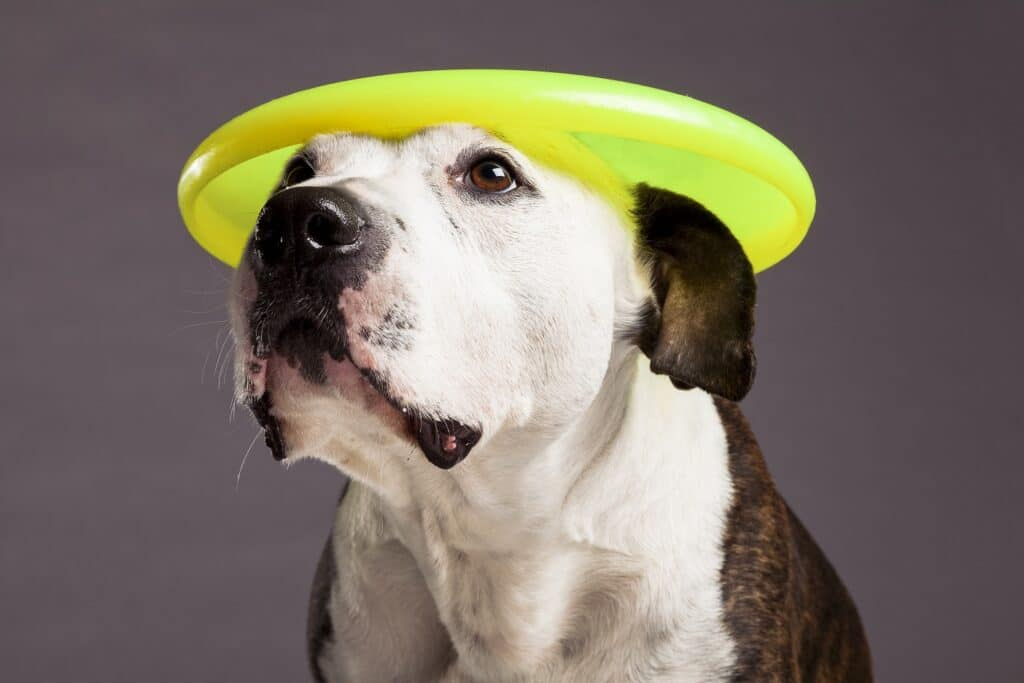 Pit Bull With Frisbee on it's Head