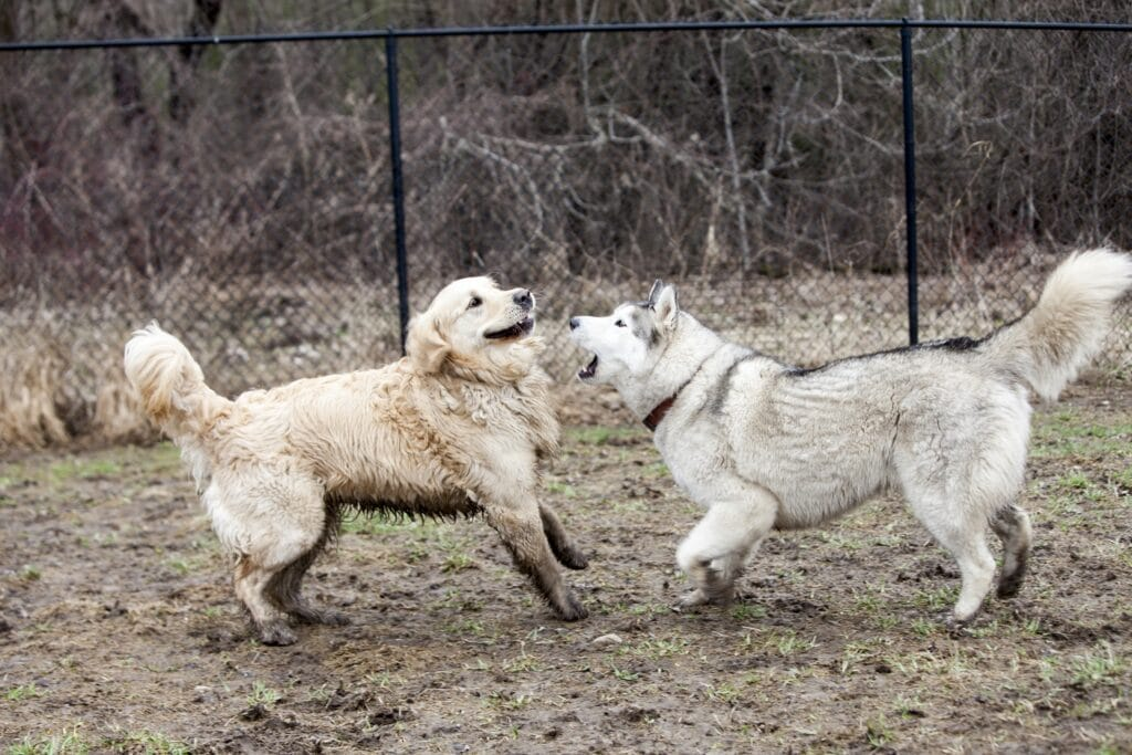 Two large breed dogs play fighting in a fenced in park; a golden and a husky.