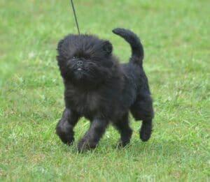 Sweet Black Affenpinscher Dog