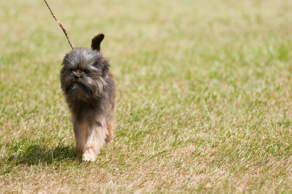 Affenpinscher waking on leash in the grass