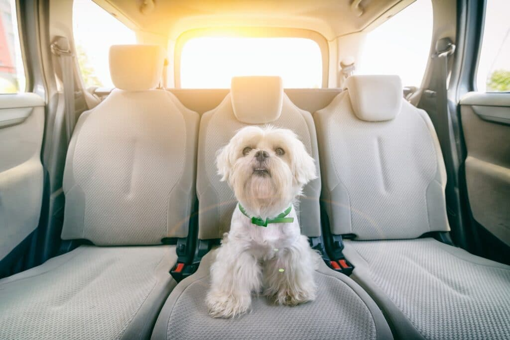 Dog in Car Back Seat