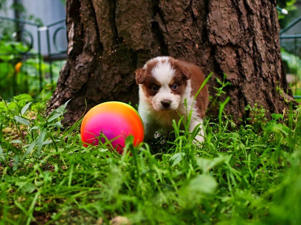 Beautiful Puppy Of Mini Australian Shepherd