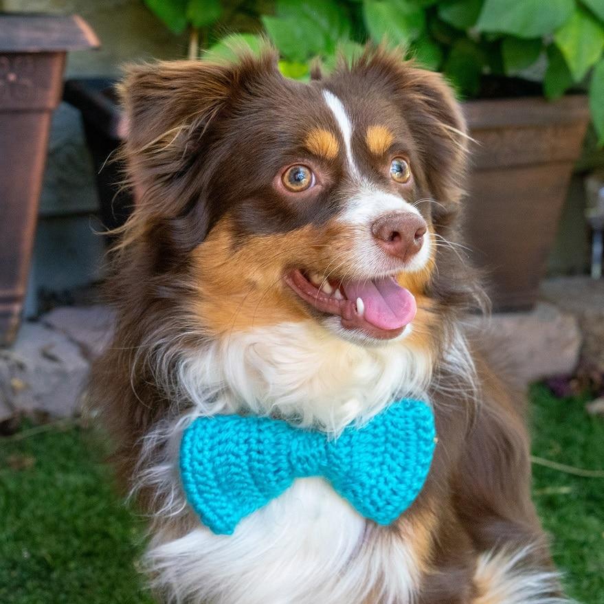 Mini Australian Shepherd wearing a tie
