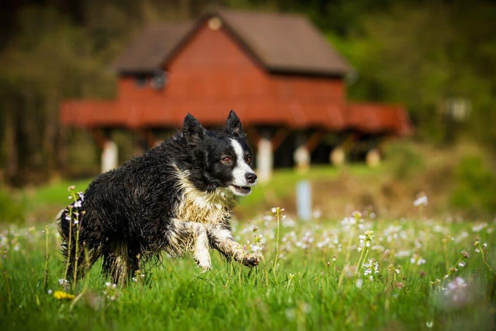 Mini Australian Shepherd Running