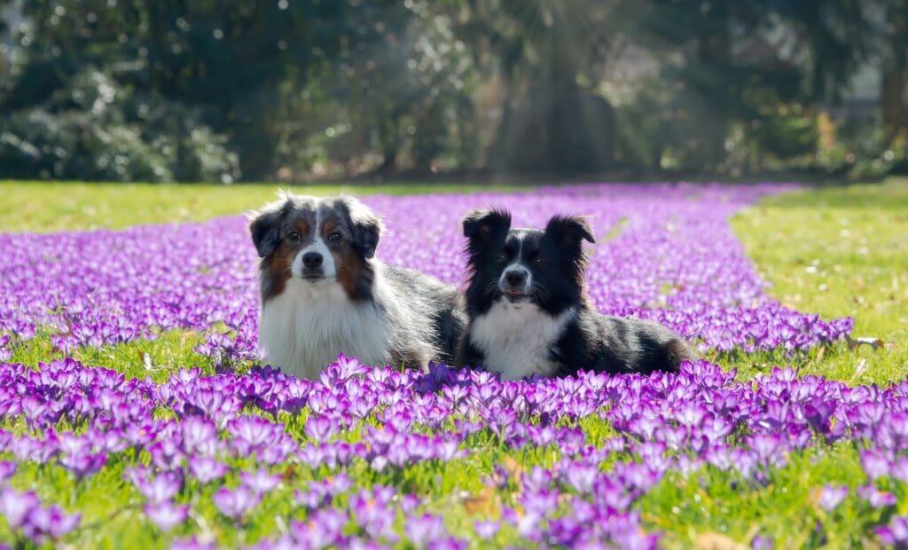 Two Miniature American Shepherd (Mini-Aussie) dogs, blue merle and black bi-color
